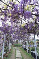 歐洲紫藤花步道