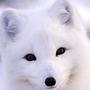 圓滾滾的狐狸
